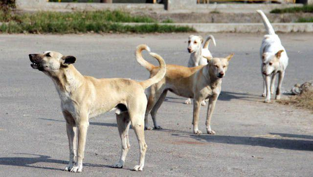 Vaccine out of stock as rabid dogs bite 14 people in Shangla