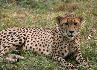 Man approaches PHC to retrieve possession of pet cheetah taken away by wildlife dept