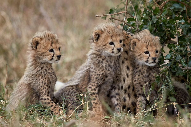 Two cheetah cubs recovered from house in Orakzai